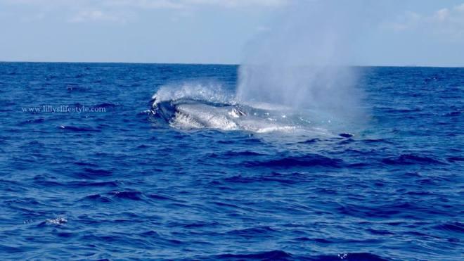 balena terceira azzorre portogallo
